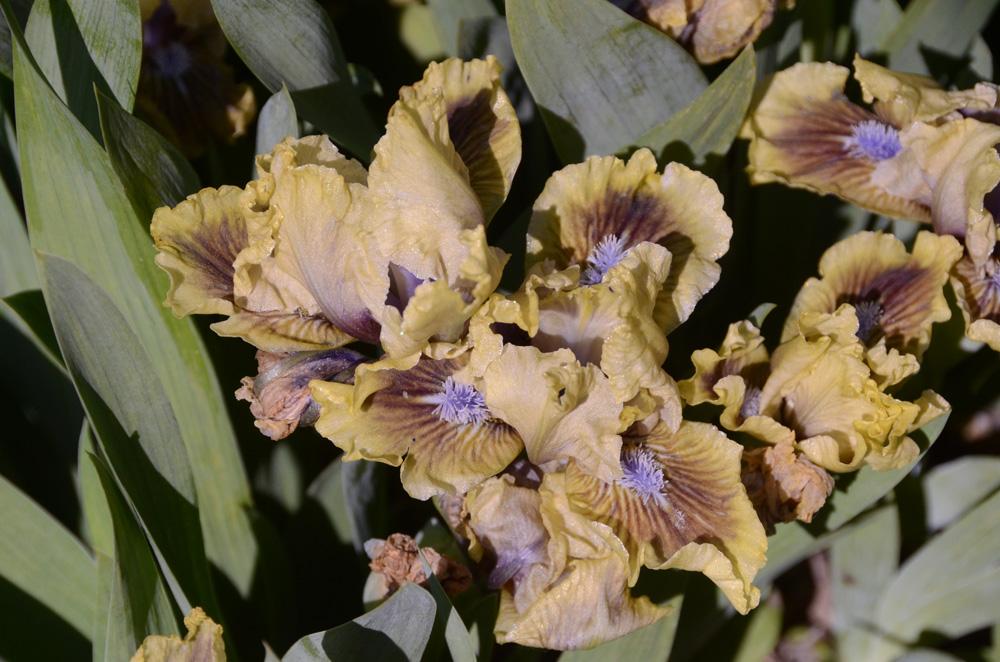 В Никитском ботаническом саду зацвели ирисы 4