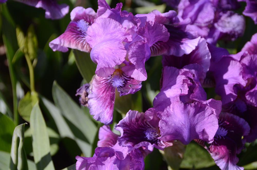 В Никитском ботаническом саду зацвели ирисы 5