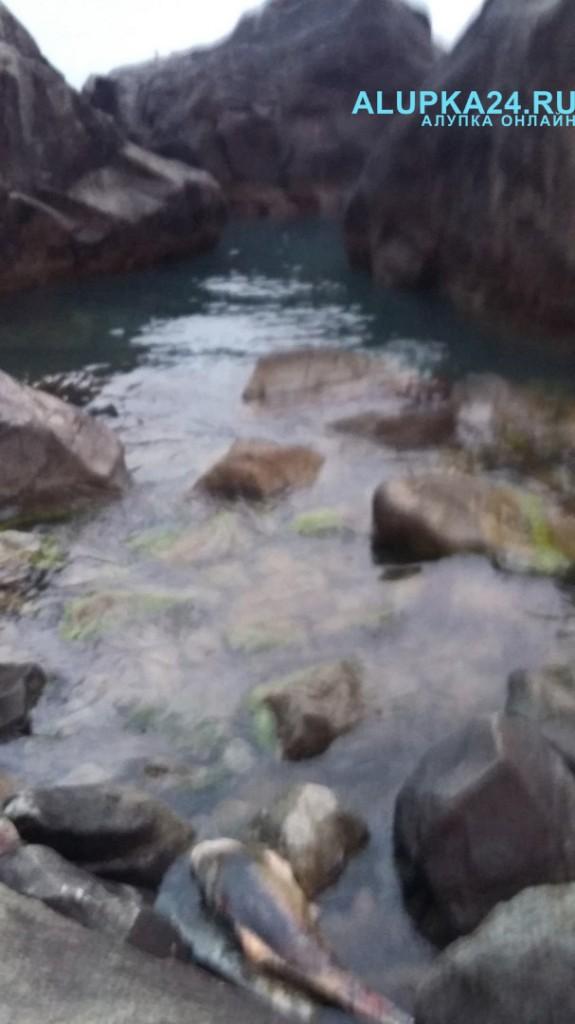 В Алупке в установленных у берега рыболовецких сетях гибнут дельфины 3