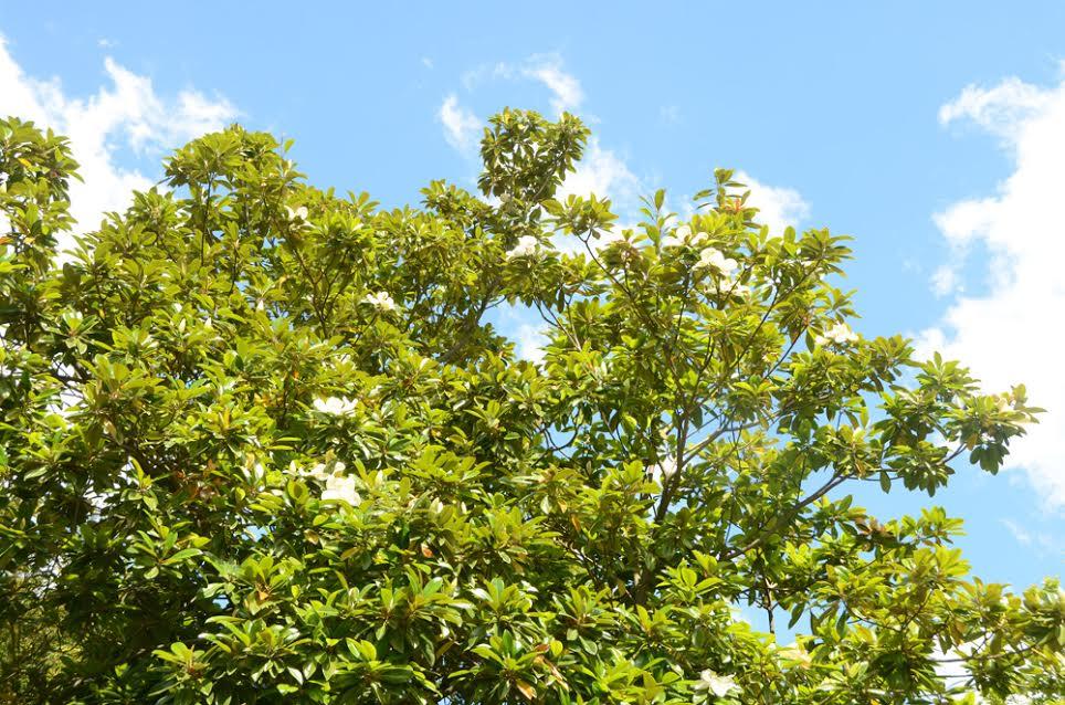 В Никитском ботаническом саду зацвела крупноцветковая магнолия 2