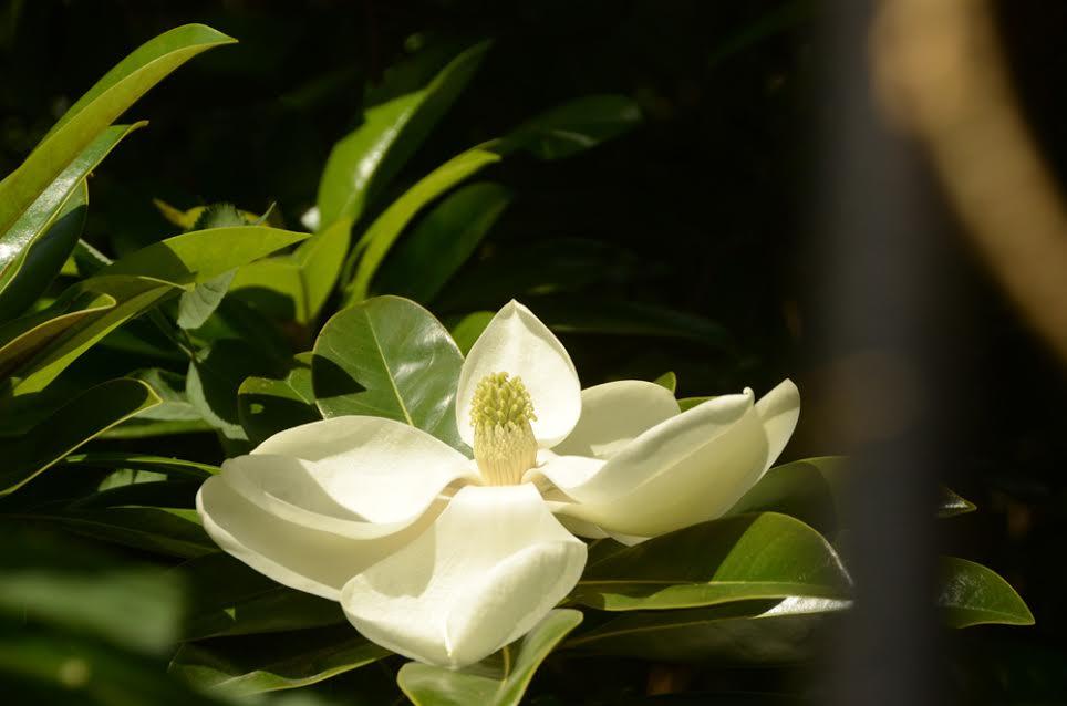 В Никитском ботаническом саду зацвела крупноцветковая магнолия 3