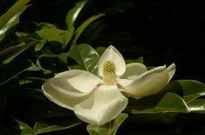 В Никитском ботаническом саду зацвела крупноцветковая магнолия