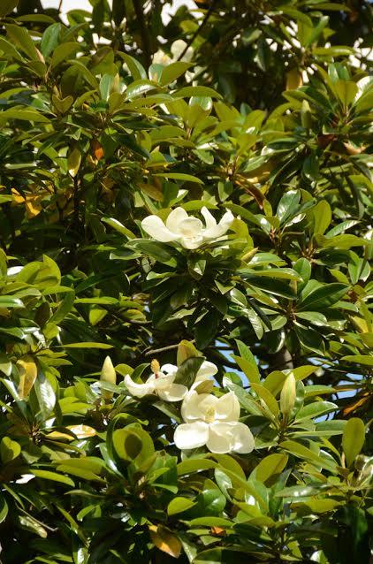В Никитском ботаническом саду зацвела крупноцветковая магнолия 4