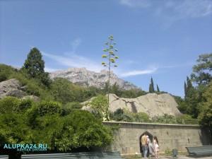 В Воронцовском дворце цветёт агава