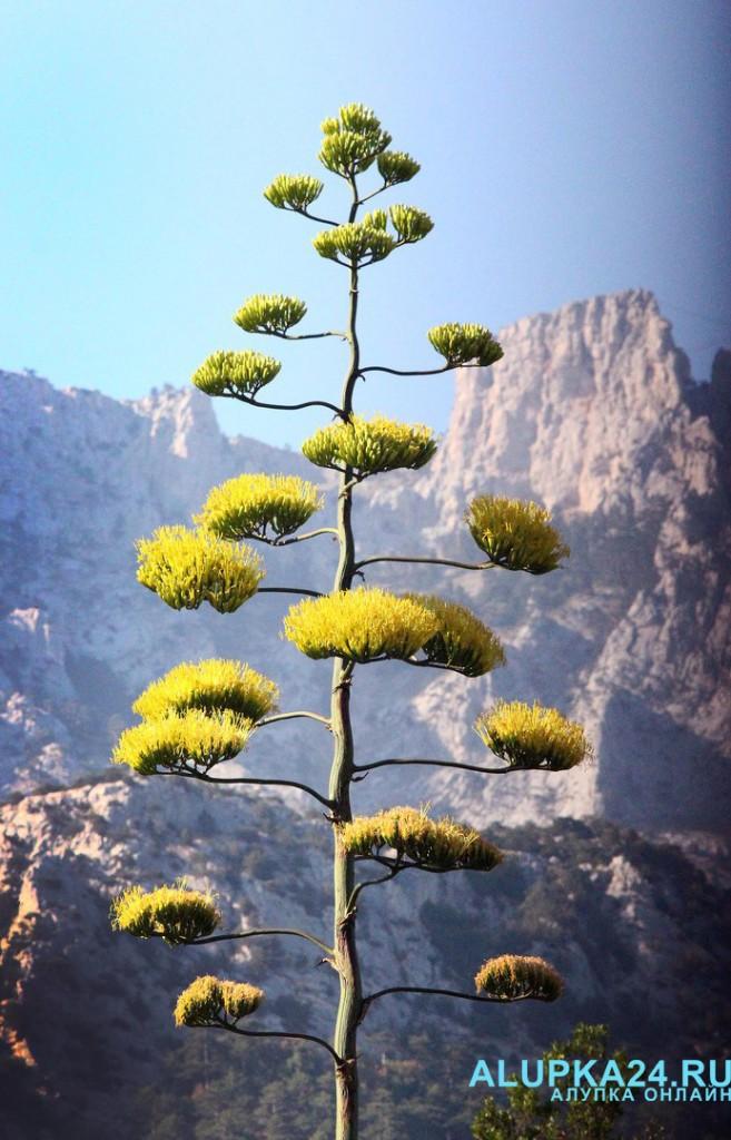 Цветущая агава