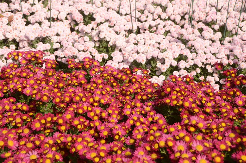 Бал хризантем в Никитском ботаническом саду 2017 12