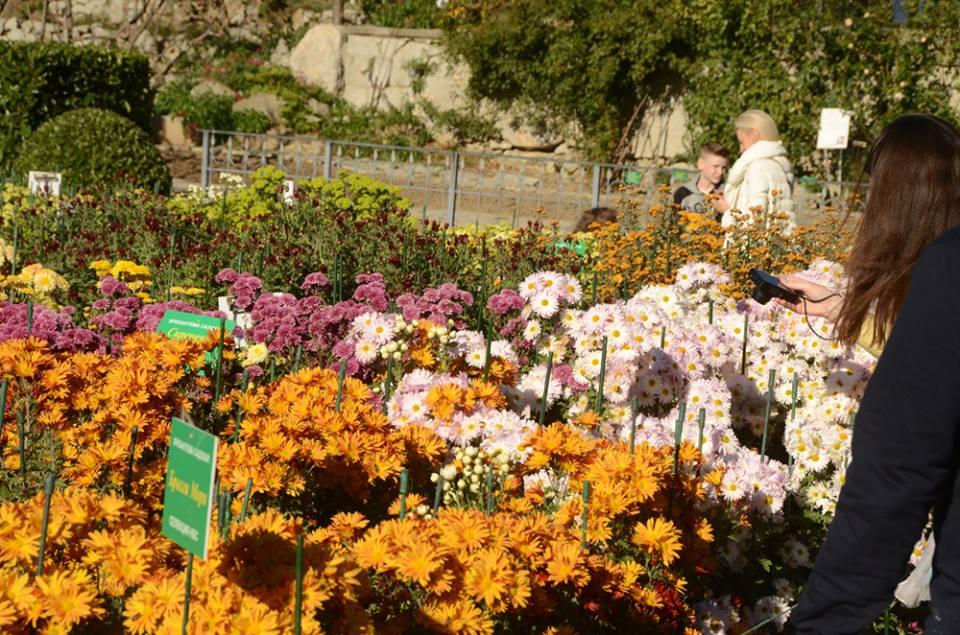 Бал хризантем в Никитском ботаническом саду 2017