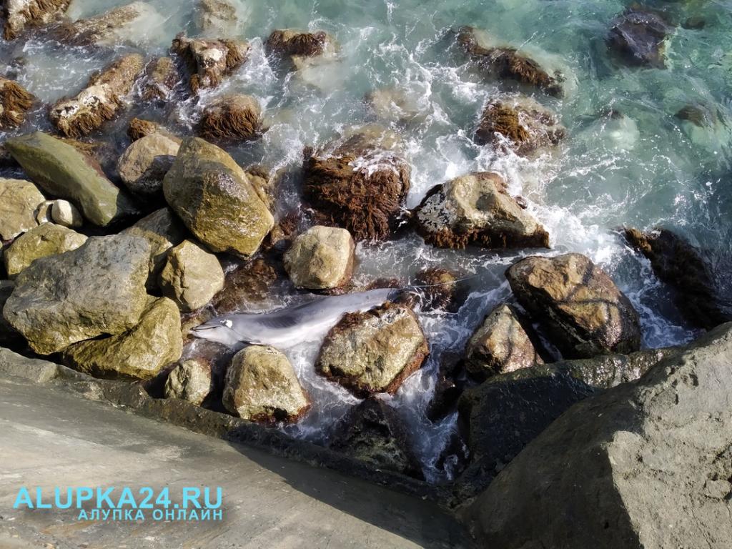 В Алупке на пляже снова нашли выброшенного дельфина 2