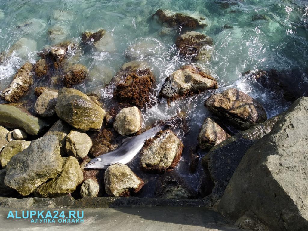 В Алупке на пляже снова нашли выброшенного дельфина
